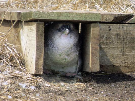 Junge Pinguine warten auf Futter