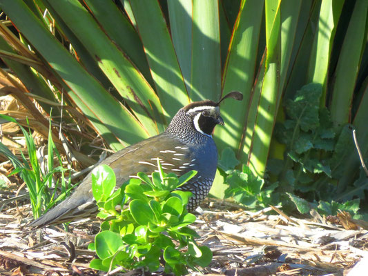 Californian quail  -  Kalifornische Wachtel