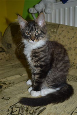 lewis maine coon