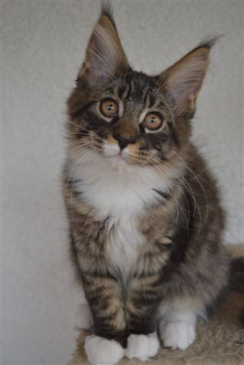 lewis maine coon brown tabby con bianco