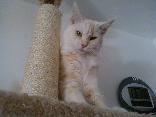 Sabbia maine coon red silver tabby