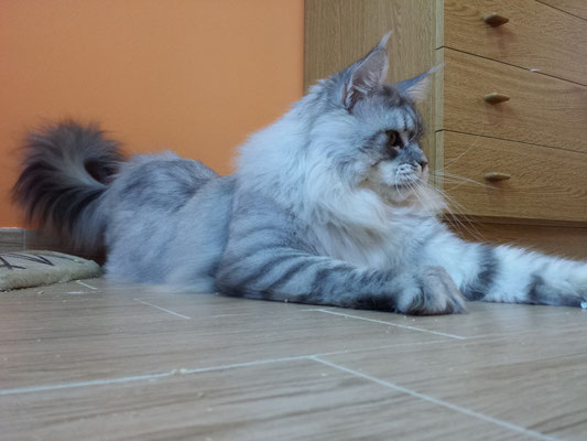 bruno maine coon blu silver tabby
