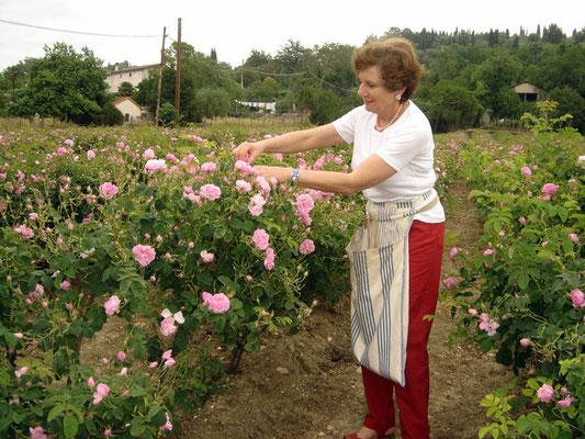 La présidente s'occupe des centifolias