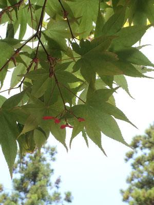 5月。プロペラのような紅葉の実ができていました。