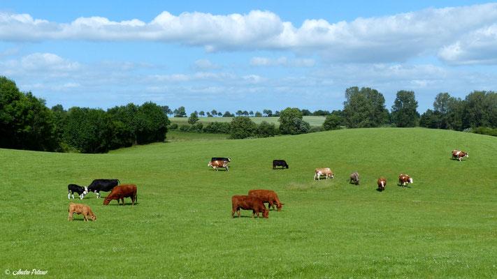 Gemeinde Brodersby - Goltoft / Landidylle mit glücklichen Kühen