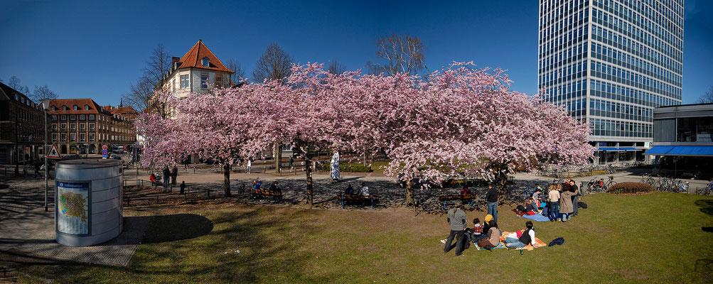 Die Kirschen in Münster am Servatii Platz