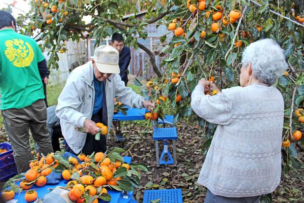 ご近所のお宅で柿もぎをさせてもらいました!