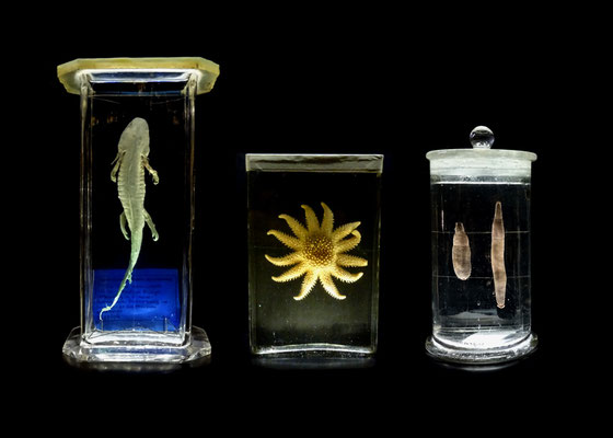 Michael Koch: eternal / axolotl, 2015, C-Print, Diasec