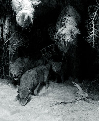 Michael Koch: Vision III (Wölfe), 2014, C-Print, Diasec