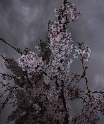 Michael Koch: cherry blossoms, 2017, Lambdaprint, Diasec