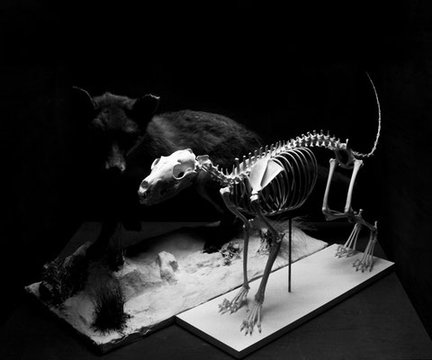 Michael Koch: two foxes, 2015, C-Print, Diasec