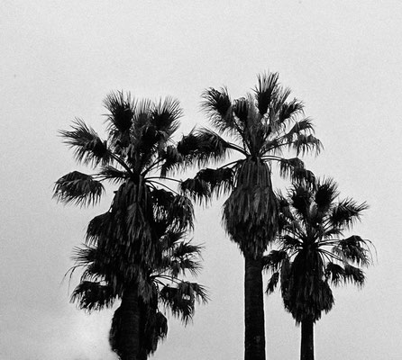 Michael Koch: palm trees, 2016, Lambdaprint, Diasec