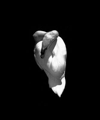 Michael Koch: svanur, 2017, Lambdaprint, Diasec