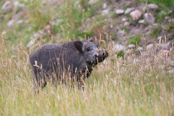 Wildschwein; Horst Jegen - Naturfotografie