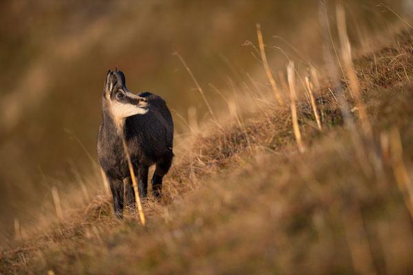 Gams; Horst Jegen - Naturfotografie