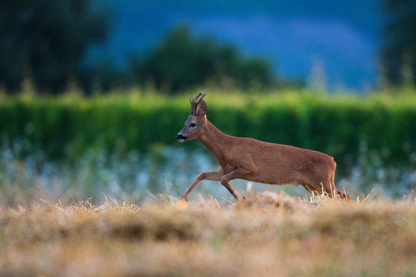 Rehwild; Horst Jegen - Naturfotografie