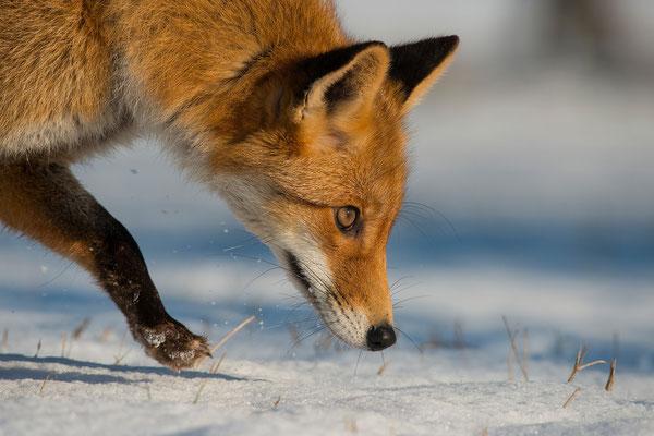 Fuchs; Horst Jegen - Naturfotografie