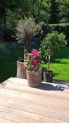 Olivenbaum im Rattankorb auf einer Holzeterasse eines Kunden www.hanse-palmen.de