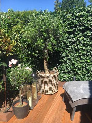 Olivenbaum im Rattan Korb auf einer Holzterrasse www.hanse-palmen.de