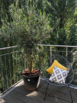 Olivenbaum auf einem Balkon in Hamburg www.hanse-palmen.de