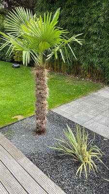 Chinesische Hanfpalme ausgepflanzt in einen Garten in Hamburg www.hanse-palmen.de
