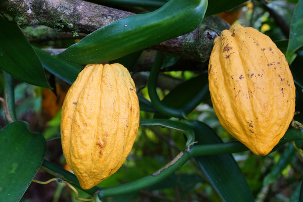 Martinique - Fleurs
