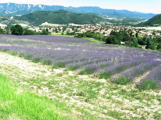 Champ de lavandes:Alpes de Haute-Provence)