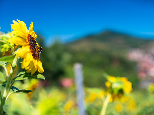 Sonnenblumenfeld bei Albersweiler