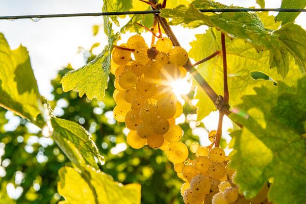 Goldener Herbst bei Deidesheim