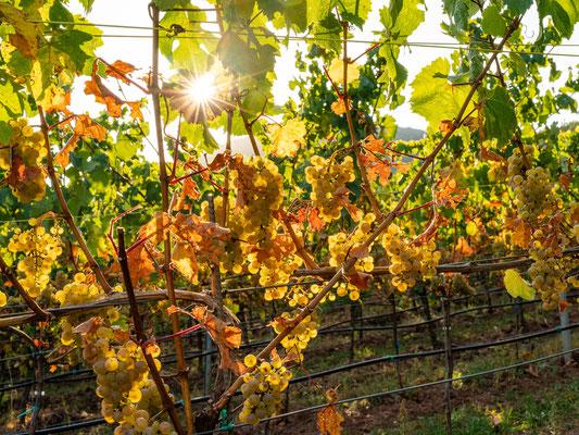 Goldener Herbst bei Birkweiler