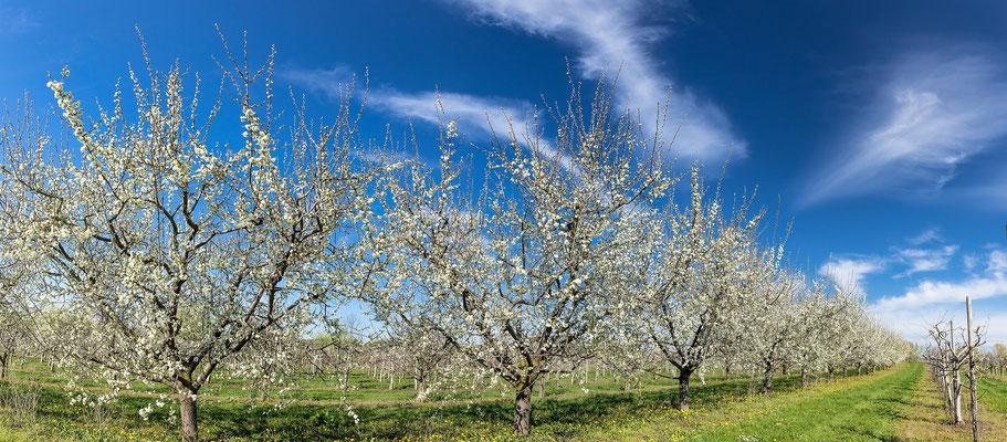Obstblüte bei Freinsheim