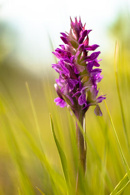 Auf einer Orchideenwiese bei Geinsheim