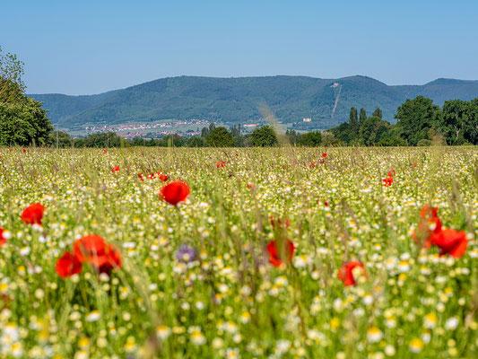 Wildblumenwiese bei Freimersheim