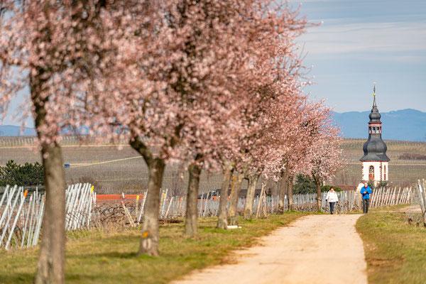 Mandelblüte in Kirchheim