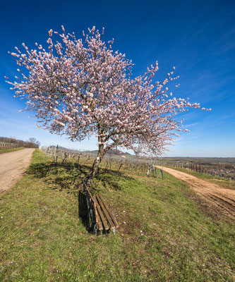 Mandelbaum über Birkweiler