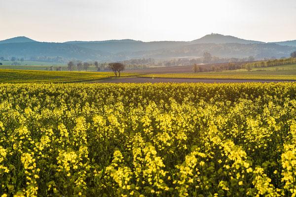 Rapsblüte in der Südpfalz