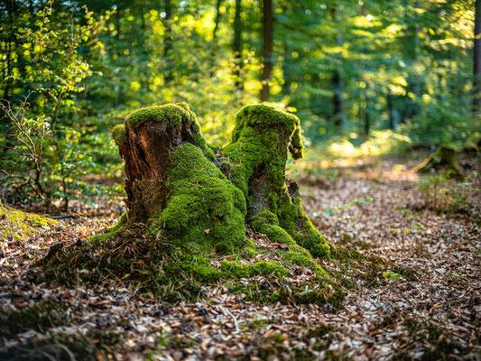 Goldene Stunde im Wald