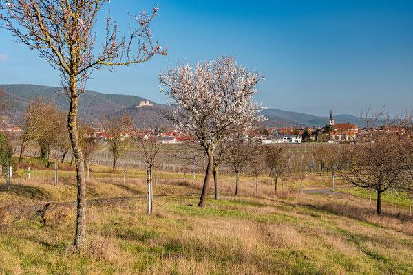 Beginnende Mandelblüte bei Maikammer