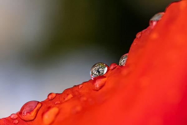 Mohnwiese nach Gewitterregen