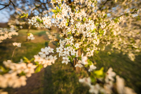 Kirschblüte bei Falkenstein
