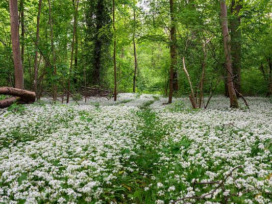 Bärlauchblüte in den Hördter Rheinauen