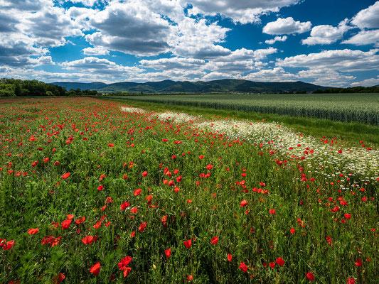Wildblumenwiese bei Diedesfeld