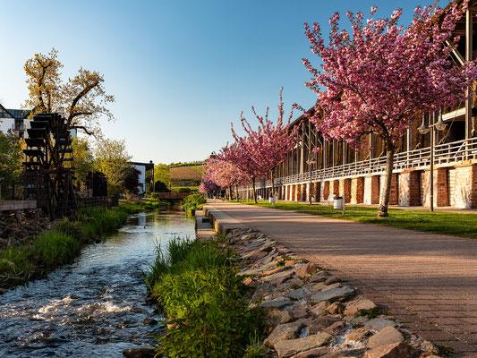Zierkirschenblüte an den Dürkheimer Salinen