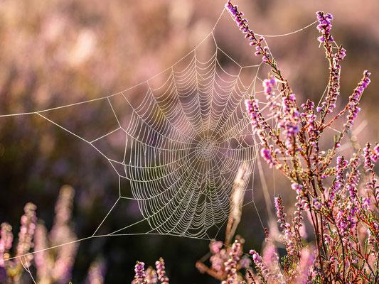 Taufeuchtes Spinnennetz in der Mehlinger Heide