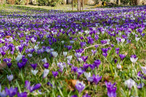 Krokuswiese im Buhlschen Park