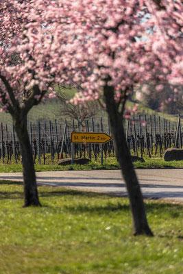 Mandelblüte bei Maikammer