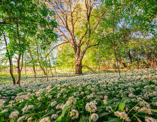 Bärlauchblüte bei Jockgrim