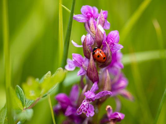 Orchideenwiese bei Geinsheim