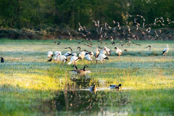 Vogelwelt in den Queichtalwiesen