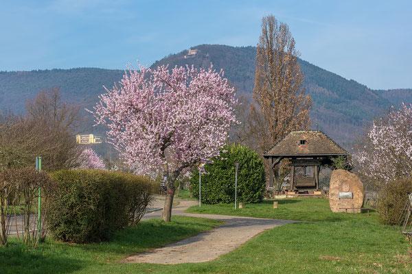 Mandelblüte in Edenkoben